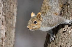 Squirel in a tree. During winter Royalty Free Stock Image