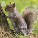 Squirel. Where are my nuts Stock Photography
