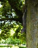 Squirell στο δέντρο στο πάρκο Στοκ εικόνα με δικαίωμα ελεύθερης χρήσης