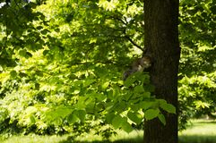 Squirell στο δέντρο στο πάρκο Στοκ εικόνες με δικαίωμα ελεύθερης χρήσης