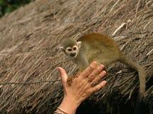 squirell обезьяны Стоковое Изображение RF