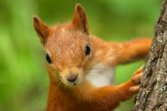 Squirell stockfoto
