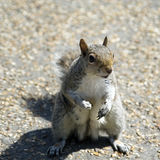 Squirell Royalty Free Stock Photos