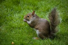 Squirell Images stock