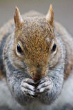 Squirell close up Royalty Free Stock Photo