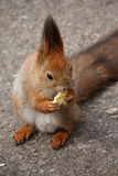 Squirell with the cookies. Beautiful squirell with the cookies royalty free stock photos