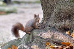 Squirell eating Royalty Free Stock Photography