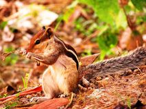 Squirell. Eating a corn by two hands royalty free stock photography