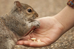 Squirrel eating from hand Royalty Free Stock Photos