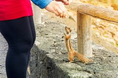 Squirell is fed. Squirrel on the canary islands Royalty Free Stock Photography
