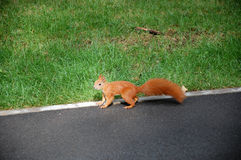 The Squirell Royalty Free Stock Photos