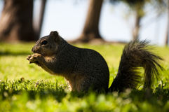 Squirell in the forest Royalty Free Stock Photography