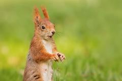 Squirell Royalty Free Stock Images