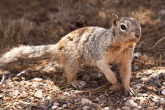 Squirell Stock Images