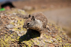 Squirell Royalty Free Stock Image