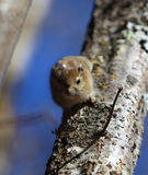 Squirell in jiuzhai. Beautifull squirrel looking for food Royalty Free Stock Photography