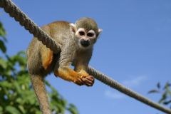 Squirell monkey. On a rope Stock Image