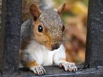 Squirell - neem een wandeling met het Nationale Vertrouwen om sommige rode eekhoorns in de bossen te zien die Formby omringen royalty-vrije stock fotografie