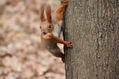 Squirell with the nut. On the tree stock photos