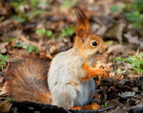Squirell rouge Images libres de droits