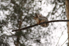 The squirell Stock Photo