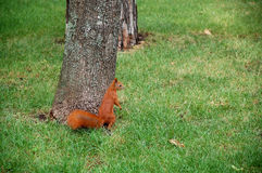 The Squirell. Sits on the grass near the tree trunk in park Stock Photo