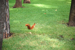 The Squirell. Sits on the grass in park Royalty Free Stock Image