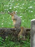 Squirell sitting in graveyard stock image
