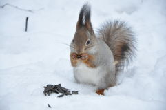 Squirell Stock Photography