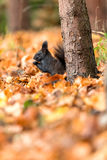 Squirell. Squirel eating something while fall is in the air Royalty Free Stock Image