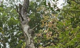 Squirell sur la branche Photo stock