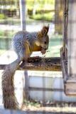 Squirell vermelho Fotografia de Stock