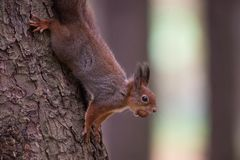 Squirell vermelho em uma árvore com uma porca Foto de Stock Royalty Free
