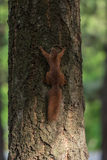 Squirell. A wild squirel captured in a cold sunny autumn autumn day Stock Images