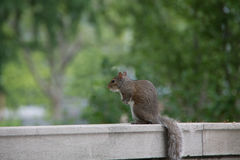 Squirrel in Battery Park New York City. Close up of a squirrel in Battery Park New York City Manhattan Stock Photos