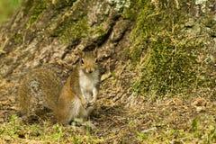 Squirl Closeup Royalty Free Stock Photos