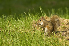 Squirl, das eine Mutter isst Lizenzfreie Stockfotos