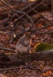 Squirl gris que mira quién ` s el fotógrafo Fotografía de archivo