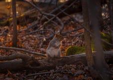 Squirl gris que mira quién ` s el fotógrafo Imagen de archivo