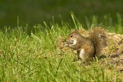 squirl jeść orzechy Zdjęcia Royalty Free