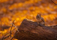 Squirl looking what`s going on. Royalty Free Stock Images
