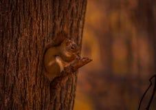 Squirl rojo que come un bocado en camino Fotografía de archivo