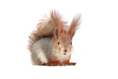 Squirre. European grey squirrel, on a white background stock photography