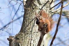 Squirre 免版税库存图片