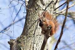 Squirre. Brown squirrel on the tree royalty free stock image