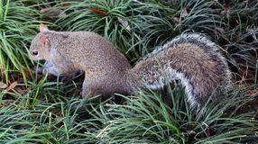 Squirrel burying its nuts. In the grass royalty free stock image