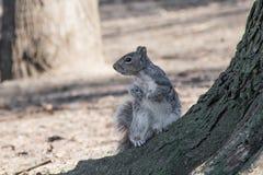 Squirre por el treel que mira lejos Fotos de archivo