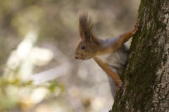 Squirre that sits on a tree and looking sideways. Squirre that sits on a tree trunk and looking sideways royalty free stock image