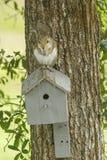 Squirre som överst äter av fågelhus Arkivbild