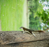 Squirre. L on a tree trunk stock photo
